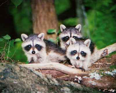 55b_3_baby_raccoons_norfork_lake_ar