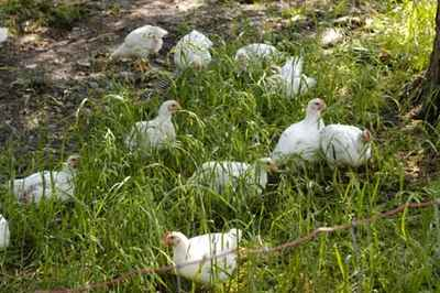 Chickens_on_pasture
