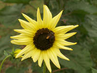 Sunflower-italianwhite