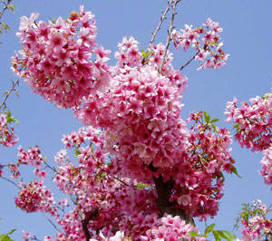 Pink flowers on trees image collections flower decoration ideas pink flowers on trees image collections flower decoration ideas flowering pink trees image collections flower decoration mightylinksfo