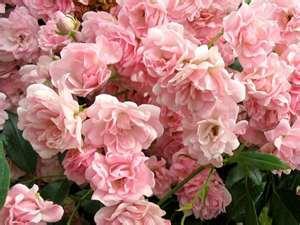 Ozark locallygrown fairypink rose bush fairy pink cushion mightylinksfo
